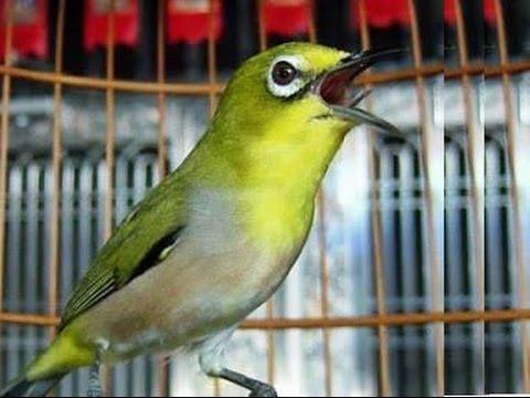 masteran buat burung pleci
